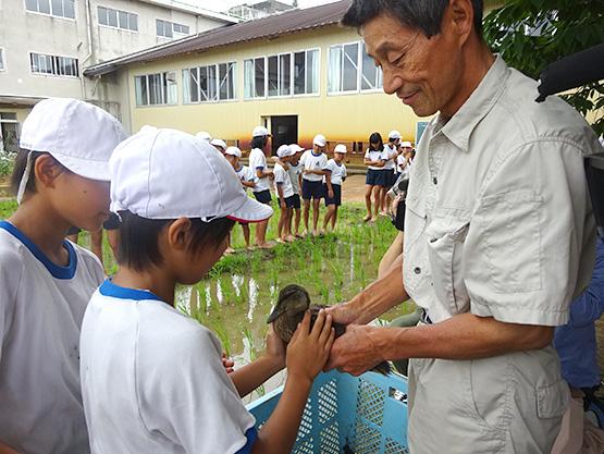 山嵜さんの田んぼで活躍するマガモとの触れ合い