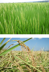 写真上:8月ごろの白藤。 長い野毛が特徴。 写真下:刈り取る直前の白藤。